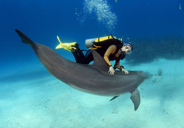 A female diver with a posing dolphin stock photo