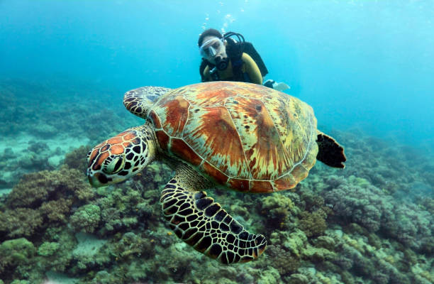 Female diver with a turtle on foreground. stock photo