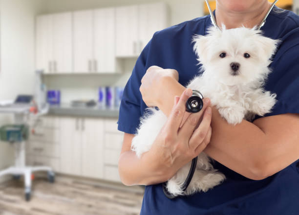 Female Doctor or Nurse Veterinarian with Small Puppy In Office stock photo