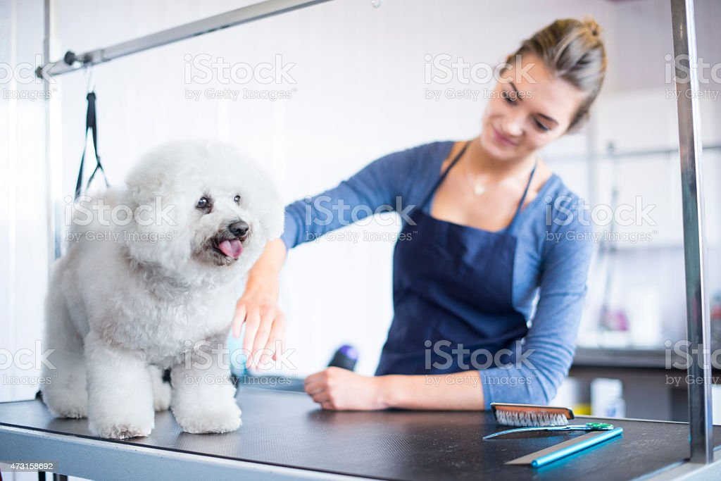 female dog groomer brushing a  bichon frise dog stock photo