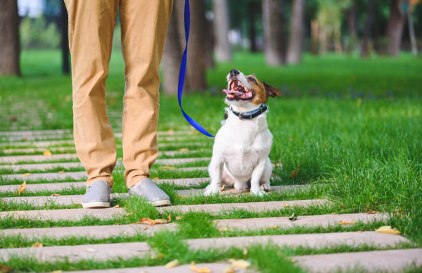 Female dog sitter walking and training dog on leash Friendly Jack Russell Terrier dog listening handler alongside stock pictures, royalty-free photos & images