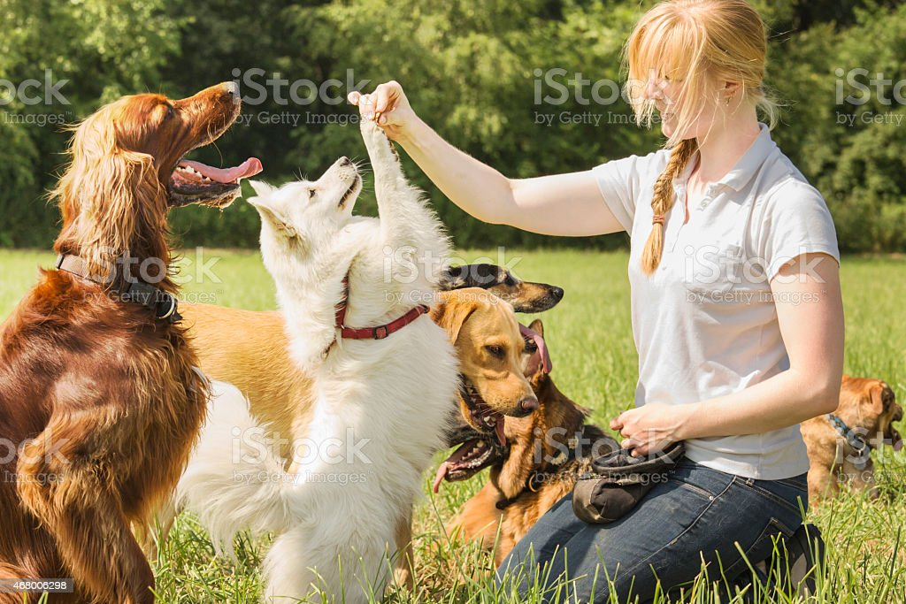Female dog trainer kneeling in grass teaching dogs outside stock photo