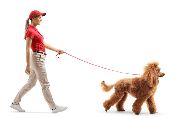 Female dog walker walking a red poodle picture id1148788698?b=1&k=6&m=1148788698&s=612x612&w=0&h=hpu csrxoztfko7ffanjmcs2kaeyqjjcmovd0jom ba=
