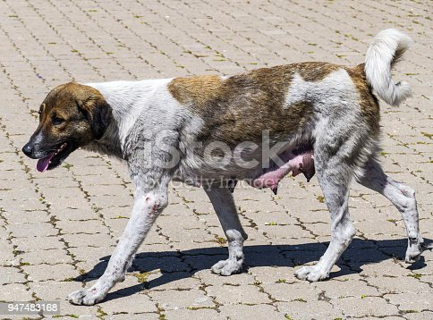 female dogs wandering the streets, looking for food, brown and white dog,