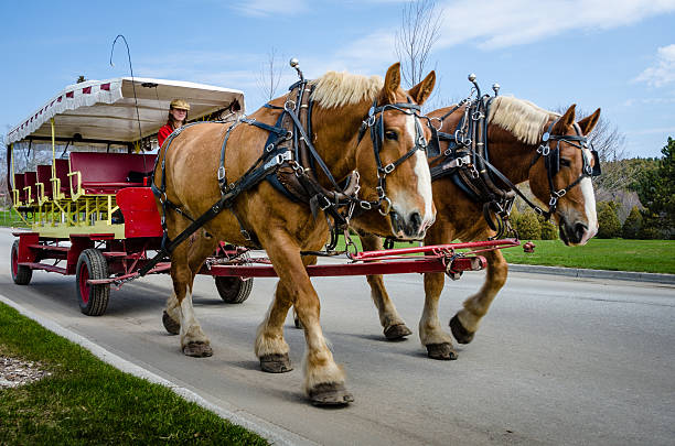 Female driver leads horses pulling a carriage on Mackinac Island stock photo