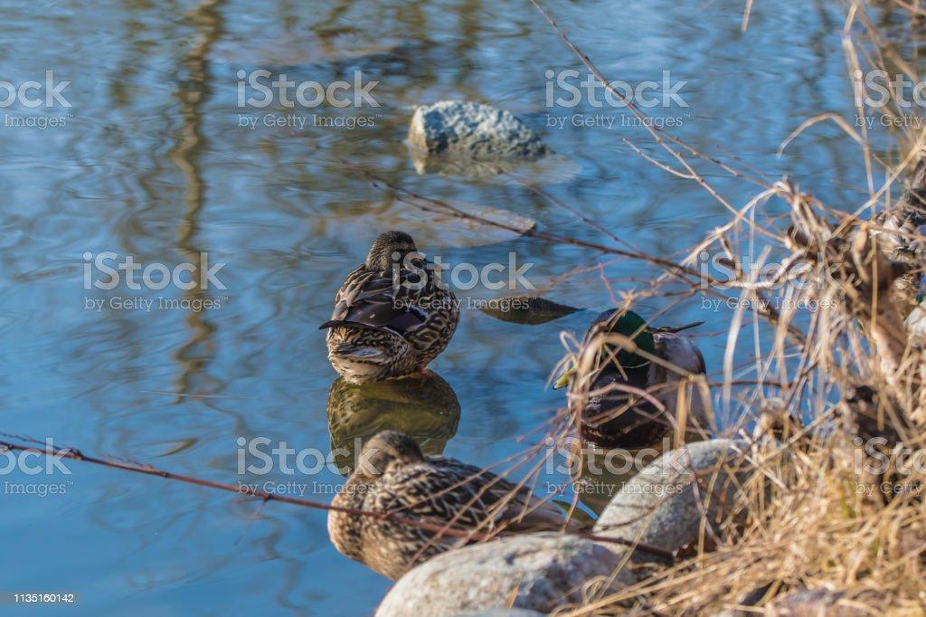 Female Duck stock photo