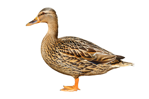 Female duck isolated on white background.