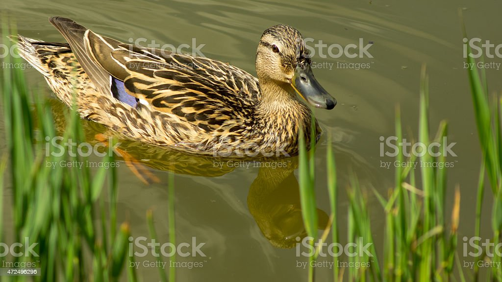 Female duck swimming in the pond towards the grassy bench stock photo