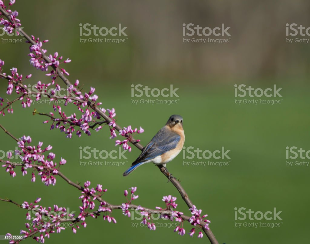Female Eastern Bluebird Perched in Redbud Tree stock photo