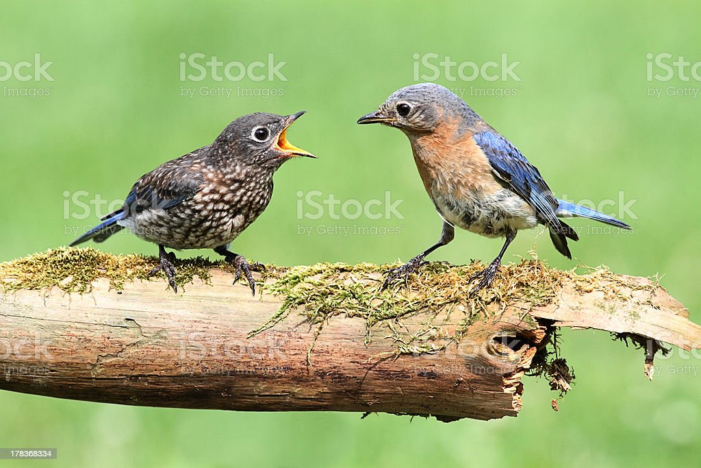 Female Eastern Bluebird With Baby royalty-free stock photo