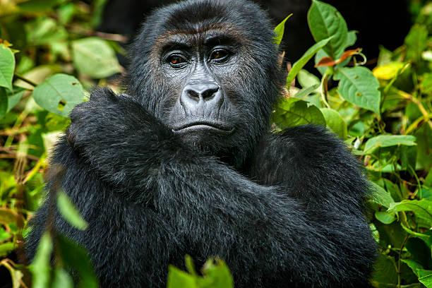 Female eastern lowland gorilla in congo wildlife shot picture id527903656?b=1&k=6&m=527903656&s=612x612&w=0&h=vknx4nn04mjam4blfyhpu1bflkpltjvugx2xqfuafry=