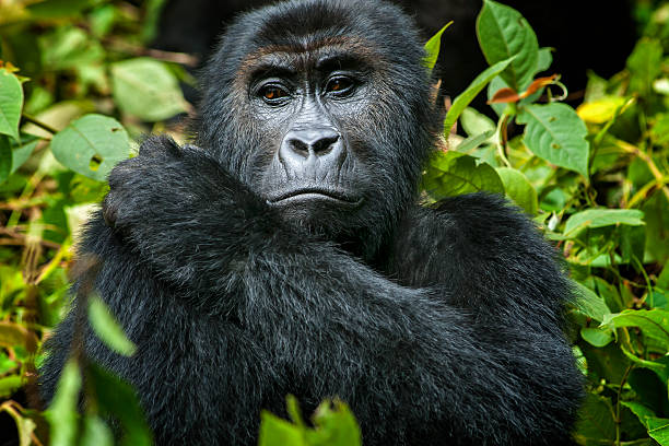 female eastern lowland gorilla in congo, wildlife shot - democratic republic of the congo stock photos and pictures