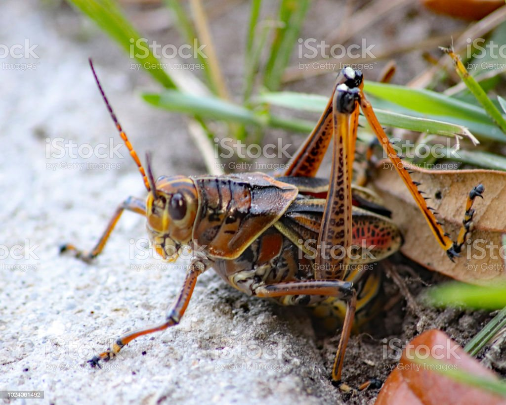Female Eastern Lubber Grasshopper Laying Eggs Stock Photo Download Image Now Istock