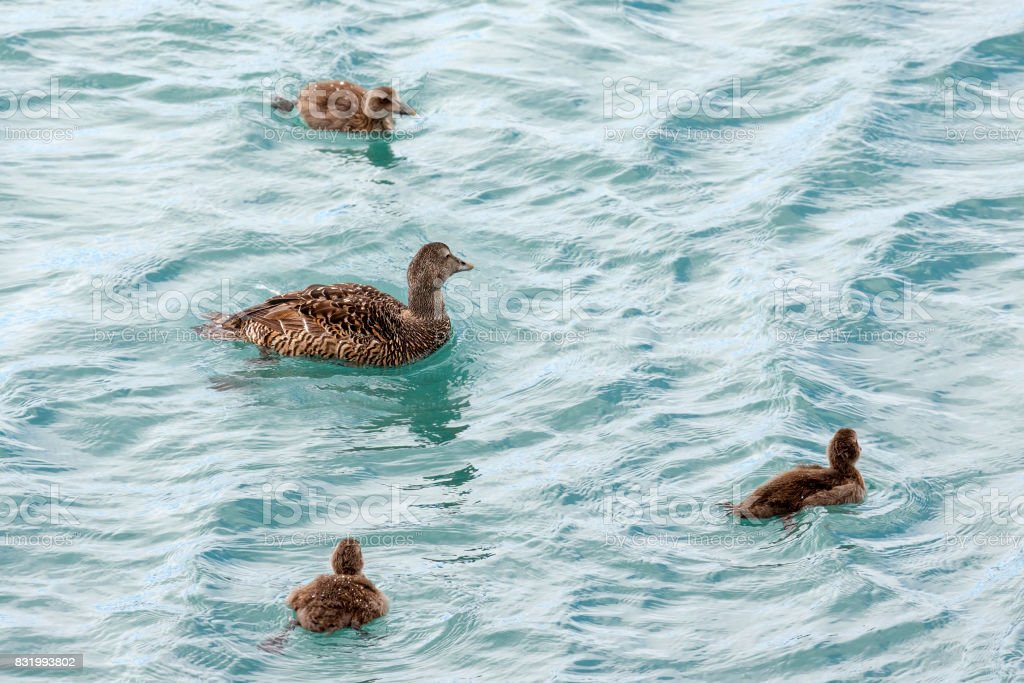 Female eider with chicks stock photo
