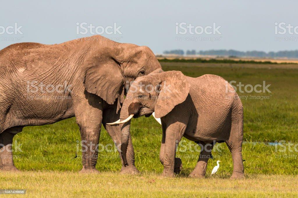 Fotografía de Elefante Hembra Y Macho Cara A Cara Tocando Con El ...
