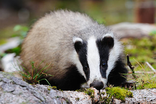 Female Eurasian badger stock photo