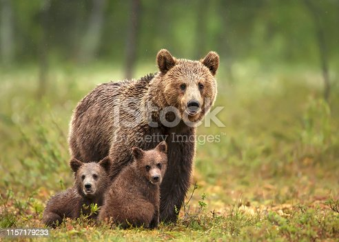 istock Female Eurasian brown bear and her cubs in boreal forest 1157179233