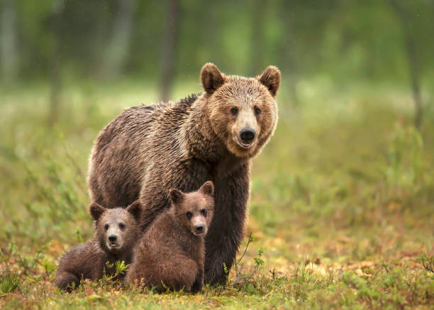 Female Eurasian brown bear and her cubs in boreal forest Close up of female Eurasian brown bear (Ursos arctos) and her cubs in boreal forest, Finland. taiga stock pictures, royalty-free photos & images