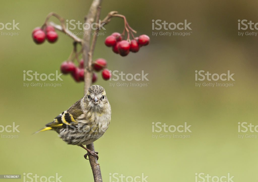 Female Eurasian Siskin (Carduelis spinus) perched on twig with berries royalty-free stock photo