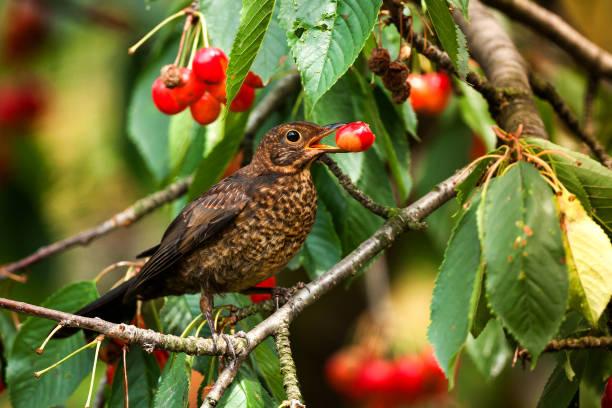 Female European Blackbird (Turdus merula) feeding on cherries. Wildlife photography. stock photo
