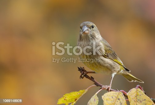 Female european greenfinch (Chloris chloris) perching on a cherry tree in autumn.