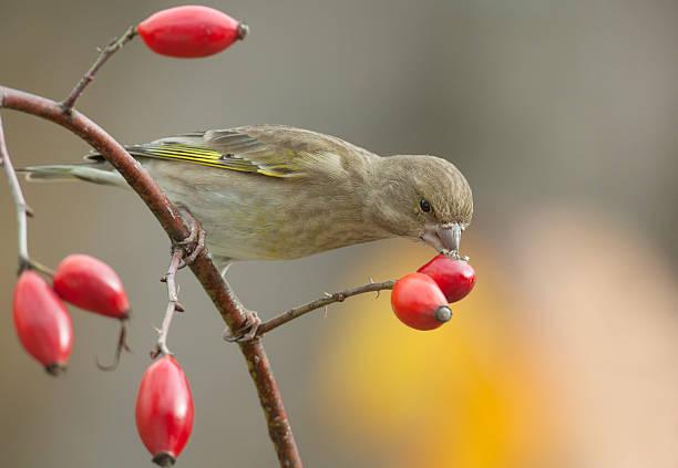 Female european greenfinch picture id498745268?b=1&k=6&m=498745268&s=612x612&w=0&h=d0htq8nloucrzunvjo0pkyrduxlgerbhbfhho27vpfy=