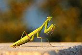 istock Female European Mantis or Praying Mantis, Mantis Religiosa. Green praying mantis. 1134030693