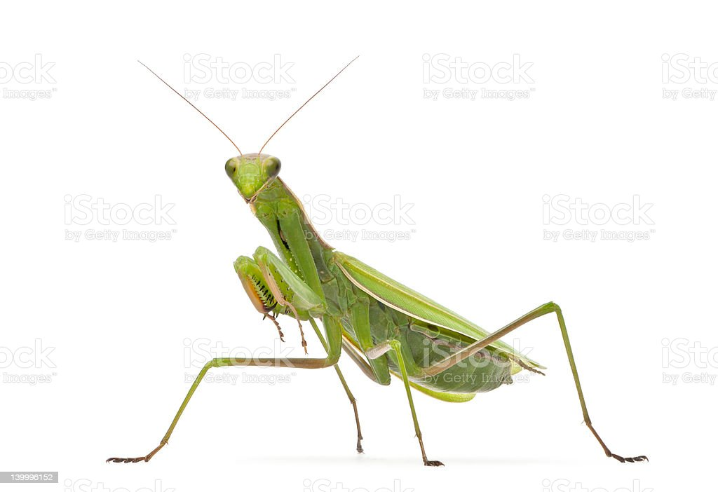 Female European Mantis, religiosa, in front of white background stock photo