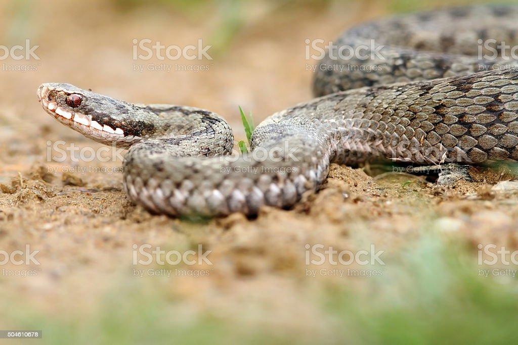 female european viper on ground stock photo