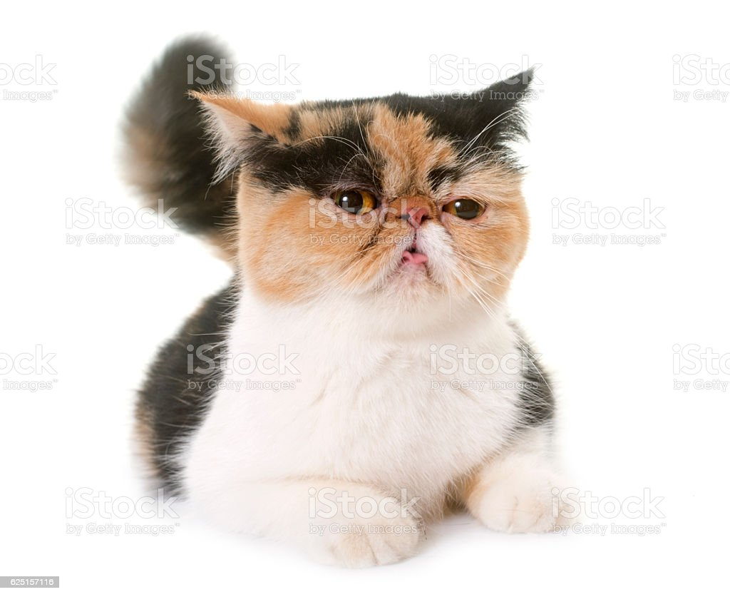 Female Exotic Shorthair Cat In Heat Stockfoto und mehr Bilder von  Amerikanisch Kurzhaar - iStock