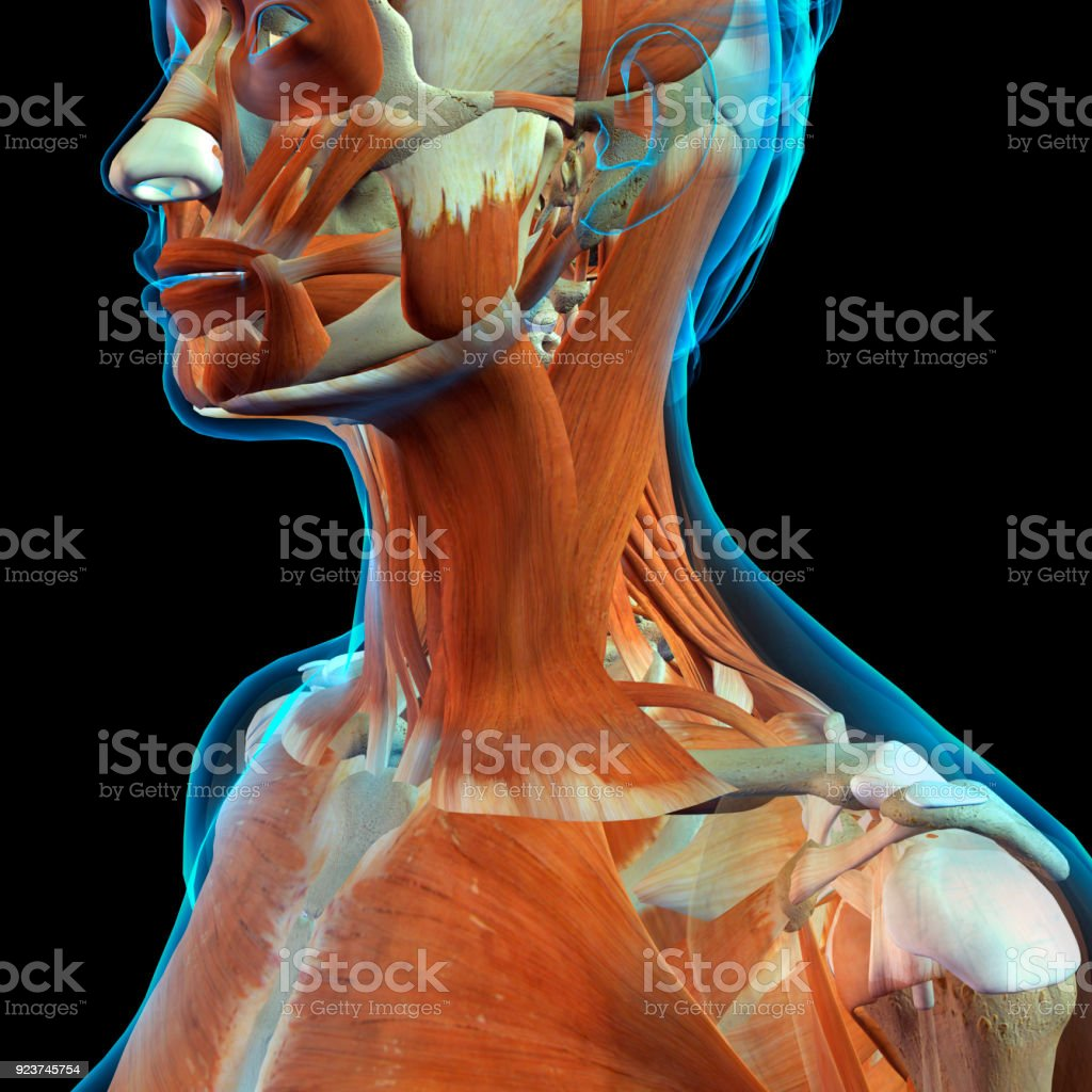 Female Face And Neck Muscles Stock Photo More Pictures Of Adult