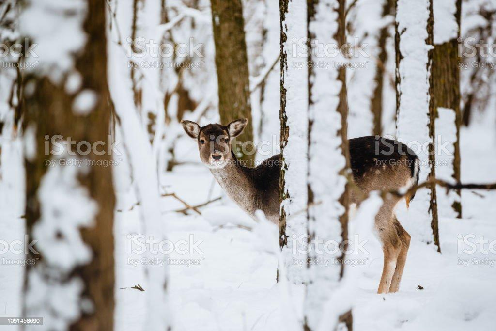 Weibliche Damhirsch Dama Dama im Winterwald – Foto