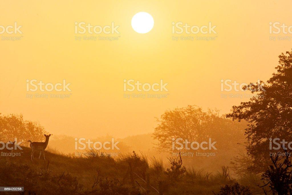 2 weibliche Damwild bei nebligen Sonnenaufgang – Foto