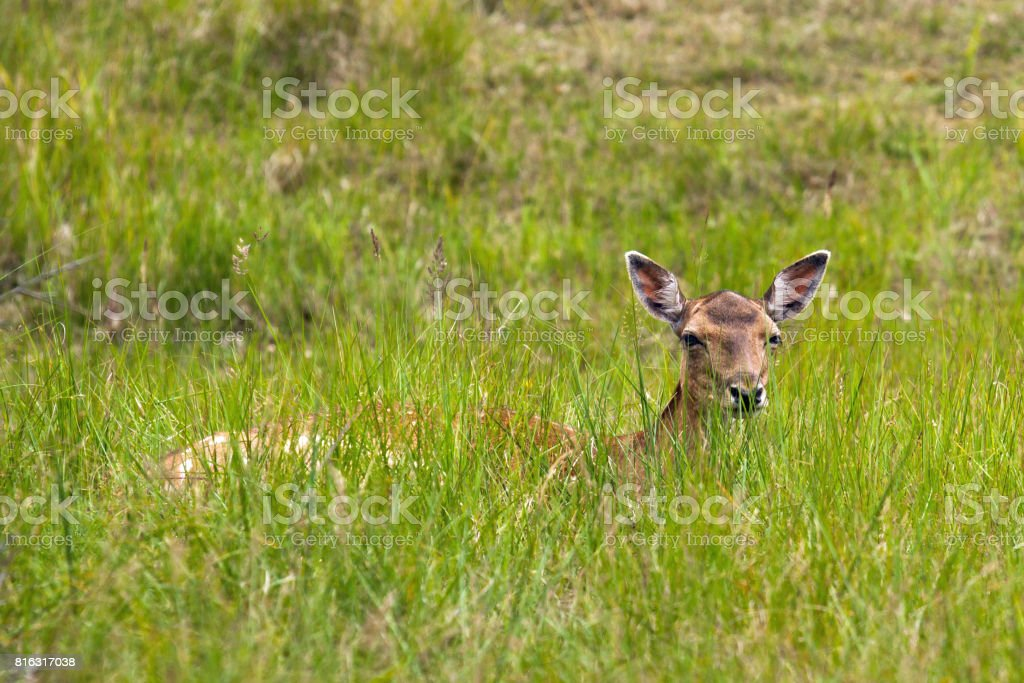 Female fallow deer hiding in grass stock photo