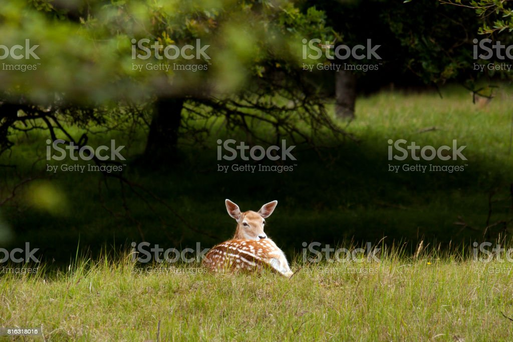 Female fallow deer lying in grass stock photo