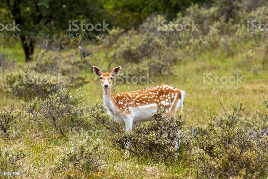 Female fallow deer stock photo