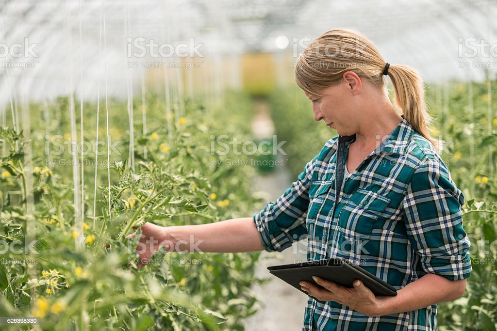 Female Farm Worker In Greenhouse Checking Tomato Plants stock photo