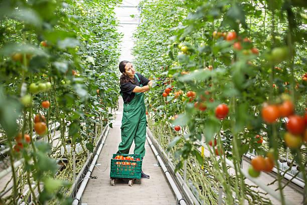 female farm worker picking ripe tomatoes - теплица стоковые фото и изображения