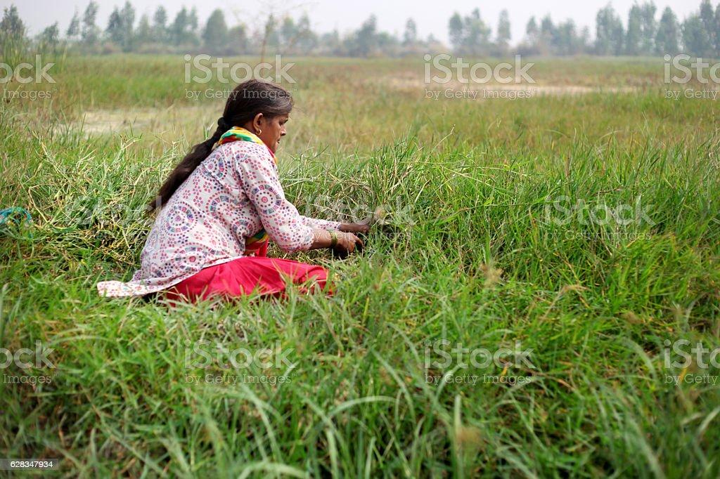 Female farmer cutting grass use as animal fodder stock photo