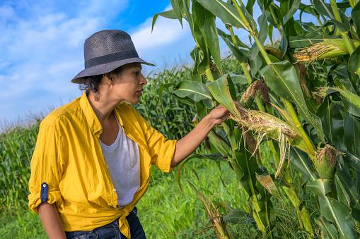 Female farmer examining corn cob in field
