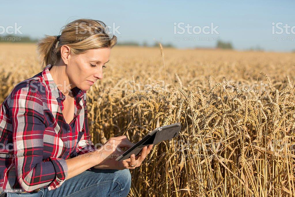 Female Farmer examining  wheat crop stock photo