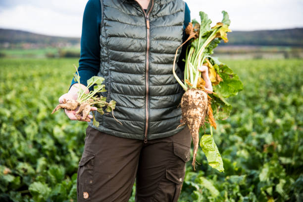 female Farmer hold big and small sugar beets in hands - close up stock photo