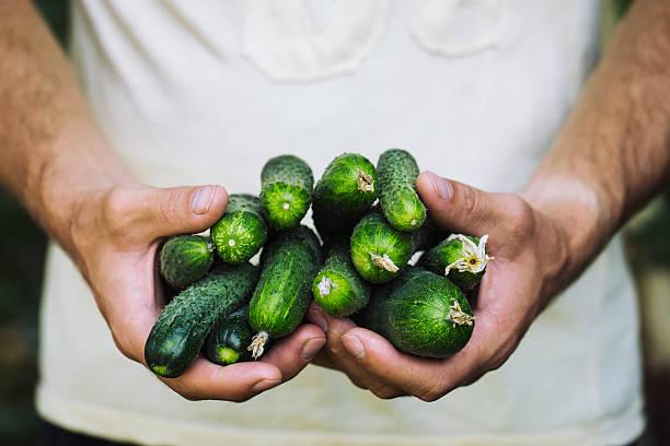 Female farmer holds fresh organic cucumbers in her hands stock photo