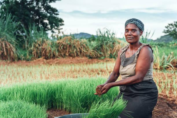 Weibliche Bäuerin pflanzt Reis in Afrika, Malawi – Foto