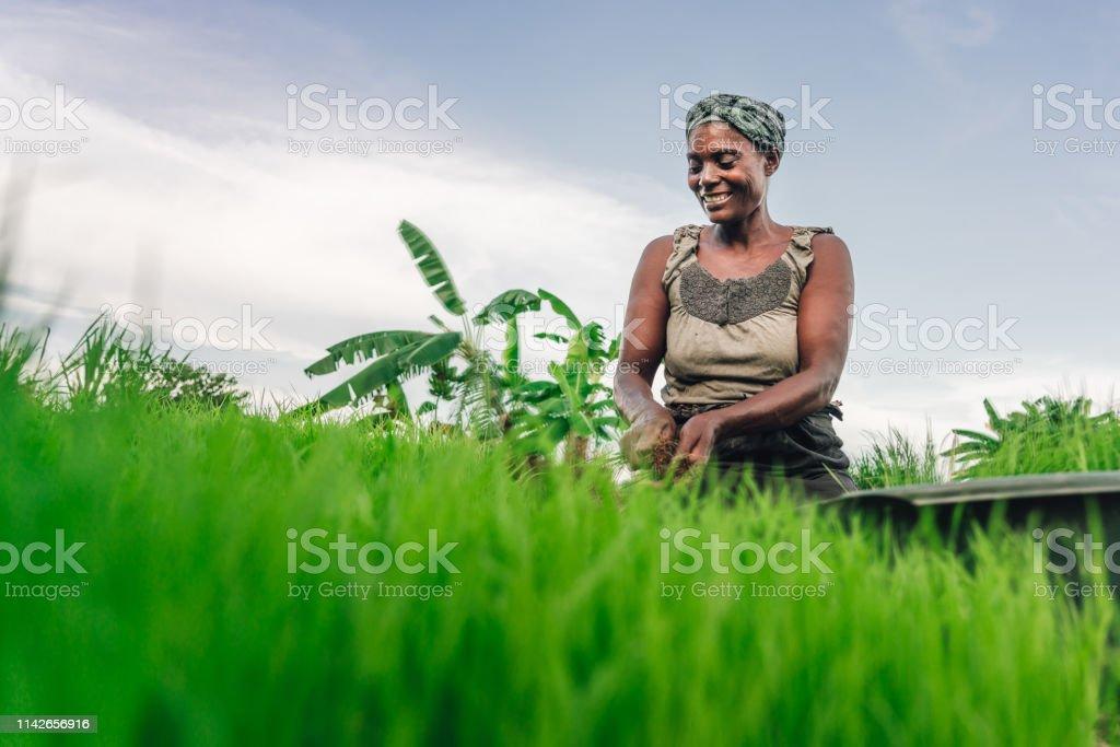 Weibliche Bäuerin pflanzt Reis in Afrika, Malawi - Lizenzfrei Afrika Stock-Foto