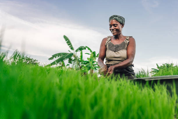 female farmer planting rice in Africa, Malawi stock photo