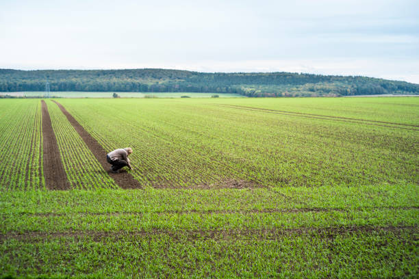 female farmer takes a look of sowing from the winter wheat stock photo