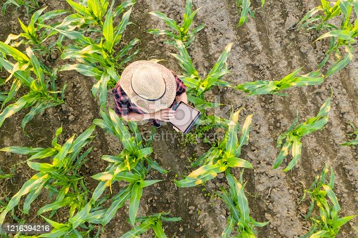 View from above of a Female farmer in a straw hat using a tablet in a corn field