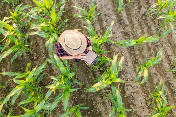 Weibliche Landwirtin mit Tablette im Maisfeld. Blick von oben auf eine Bäuerin in einem Strohhut mit einer Tablette in einem Maisfeld – Foto