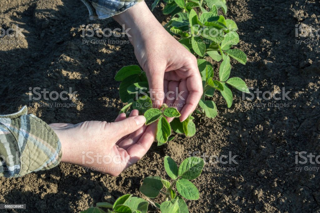 Female farmer's hands in soybean field zbiór zdjęć royalty-free